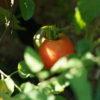 庭観察日記 8/4  トマト収穫