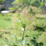 庭日記 5/30 スモークツリー中途半端に開花